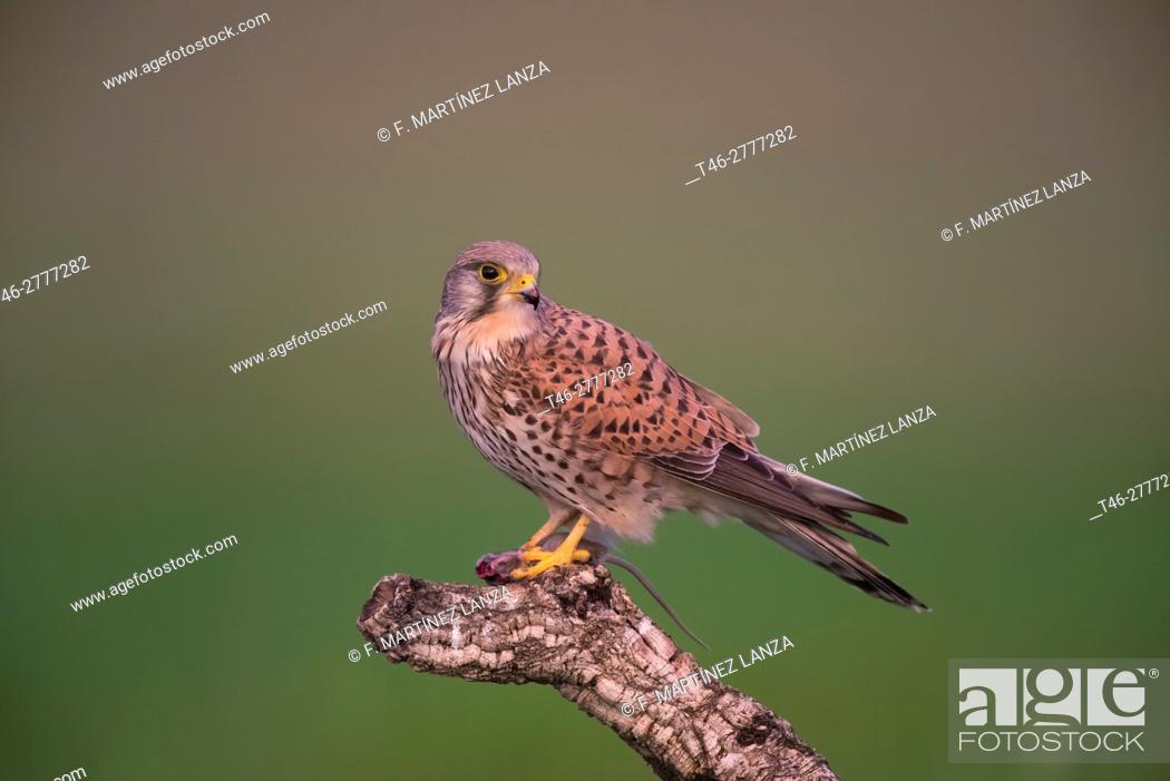 Imagen: kestrel (Falco tinnunculus). Photographed in Toledo.
