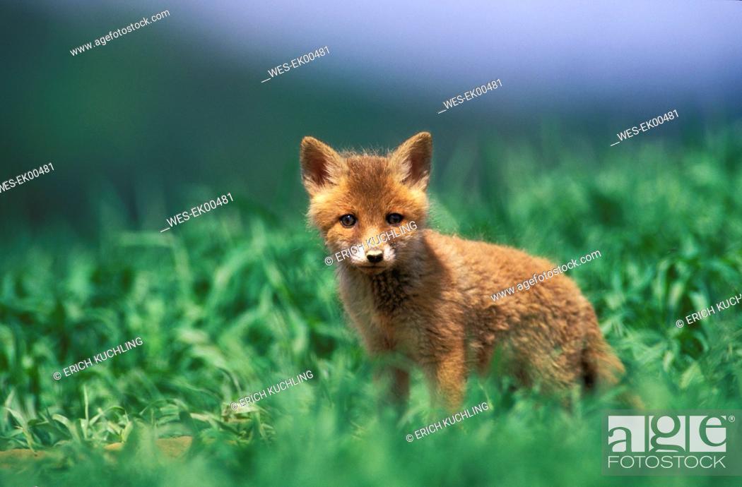 Stock Photo: red fox.