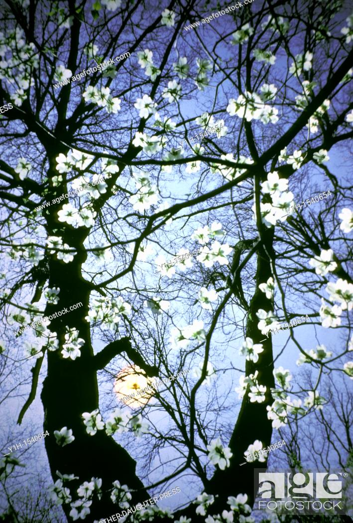Stock Photo: Flowering Dogwood blossoms (Cornus florida), lit from behind by a late afternoon sun.