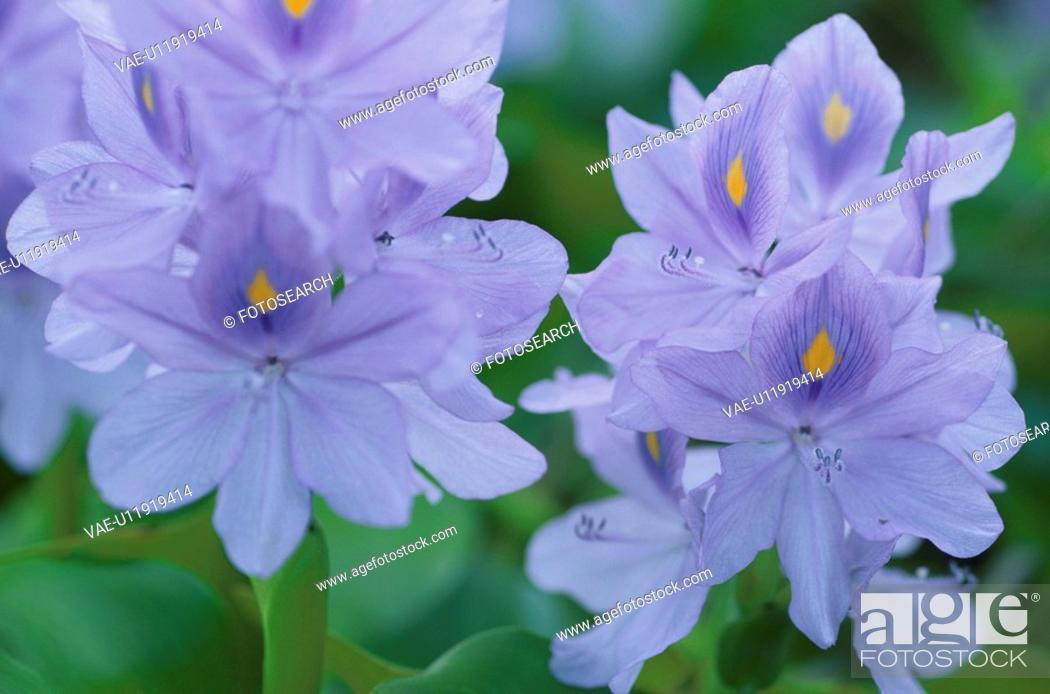 Stock Photo: Water Hyacinth.