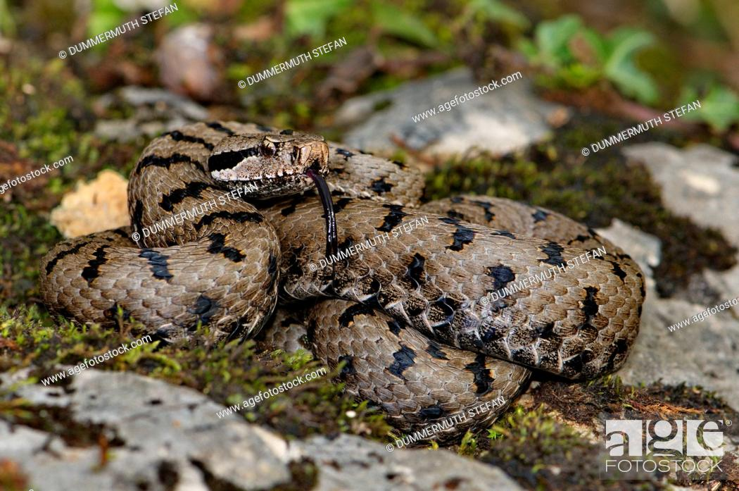 Stock Photo: Viper, vipers, adder, adders, asp viper, Vipera a. aspis, snake, snakes, reptile, reptiles, Portrait, protected, endangered, indigenous, venom, venomous.
