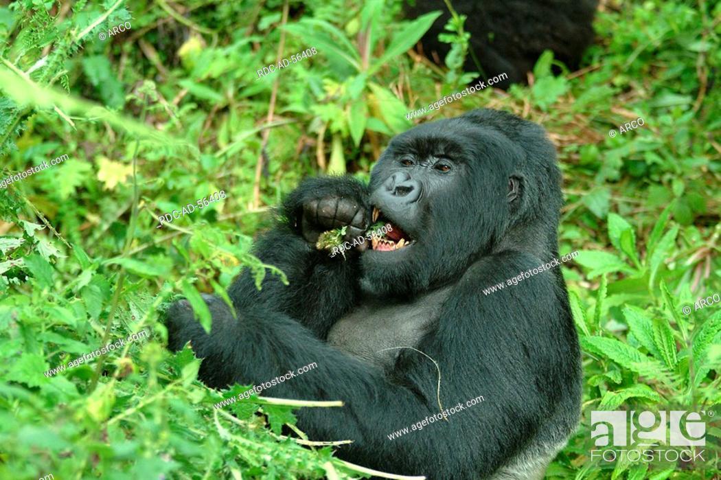Stock Photo: Mountain Gorilla silverback Volcano national park Rwanda Gorilla gorilla beringei.