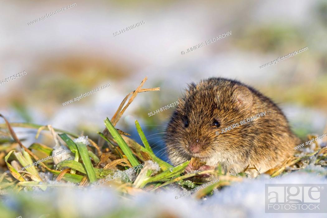 Stock Photo: Common Vole (Microtus arvalis) in winter. Germany.