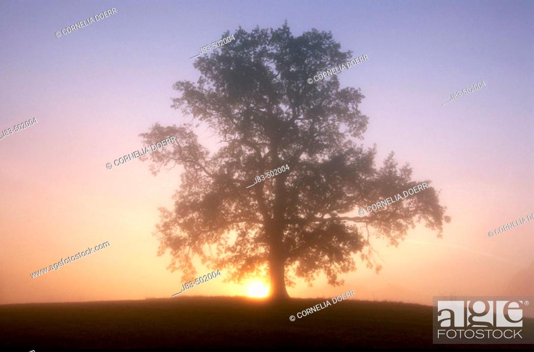 Stock Photo: Oak tree at sunrise. Allgau, Bavaria, Germany.