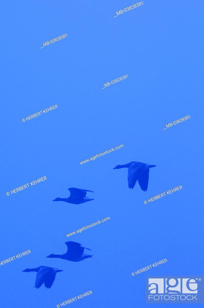Stock Photo: Gray geese, flight,.