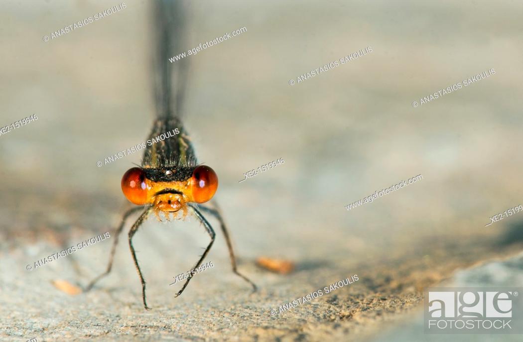 Stock Photo: Small Red-eyed Damselfly - Erythromma viridulum, Crete.