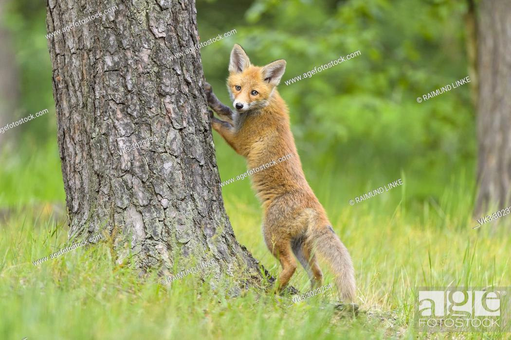 Stock Photo: Red Fox, vulpes vulpes, Young Fox, stands at the tree trunk, Germany, Europe.