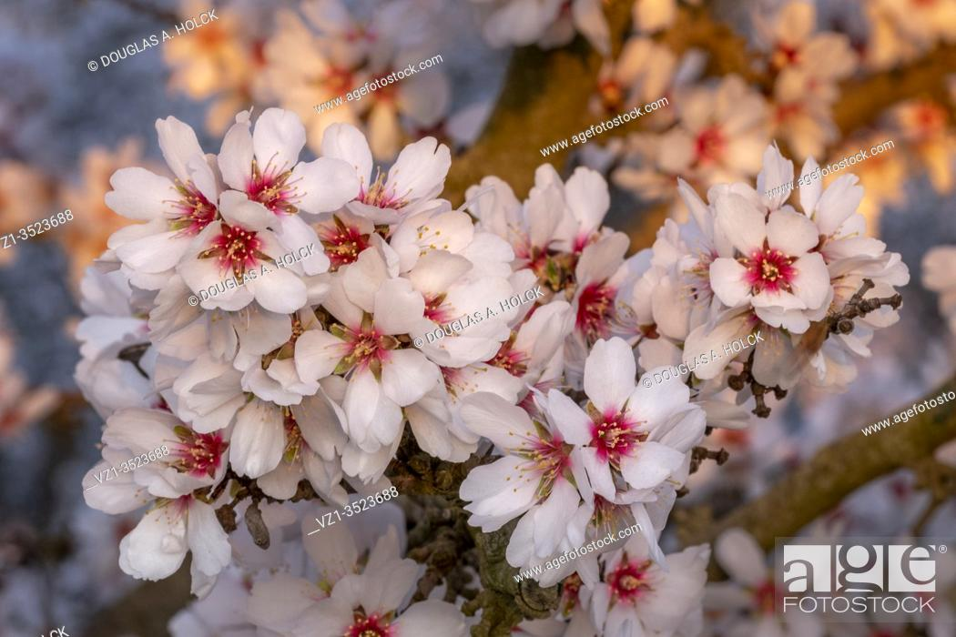 Stock Photo: Gorgeous Gathering of Almond Blossoms.