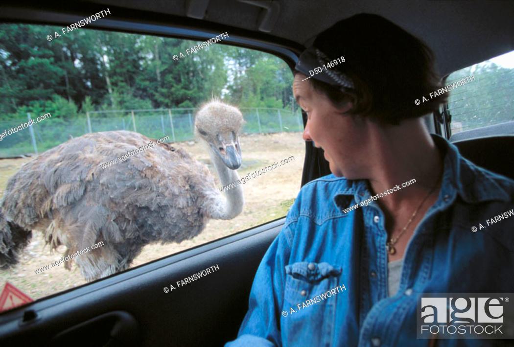 Stock Photo: Ostrich in safari park. Kolmarden. Sweden.