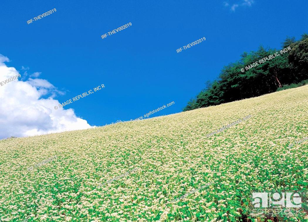Stock Photo: flower, buckwheat flower.