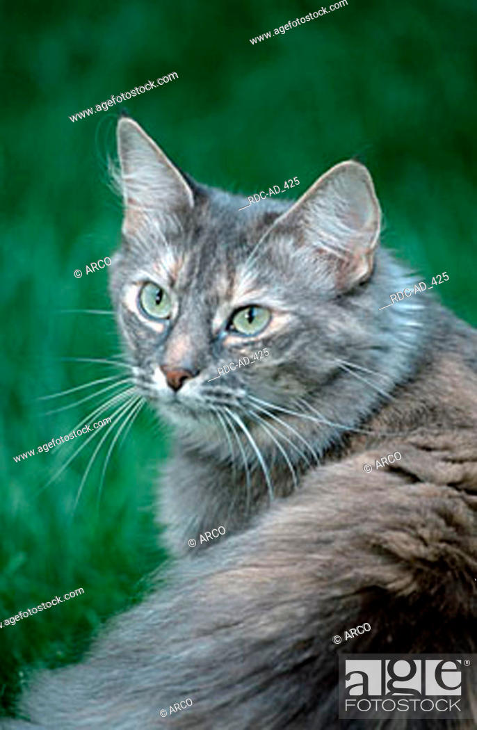 Norwegian Forest Cat Blue Silver Torbie Stock Photo Picture And Rights Managed Image Pic Rdc Ad 425 Agefotostock