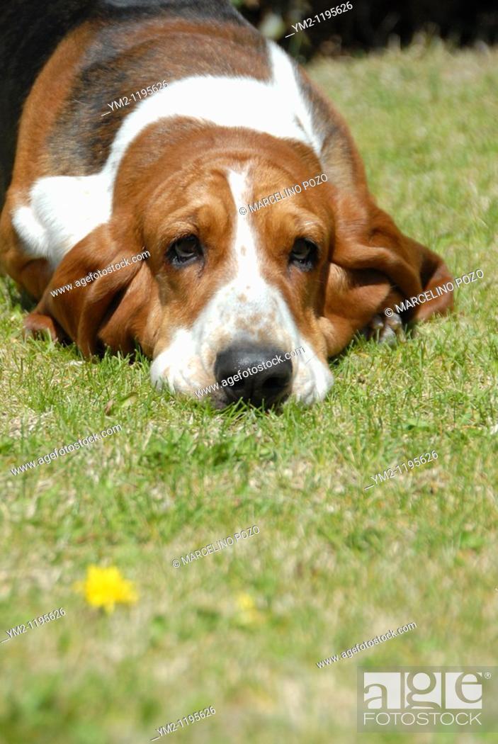 Stock Photo: Dog Breed Basset Hound Lying.