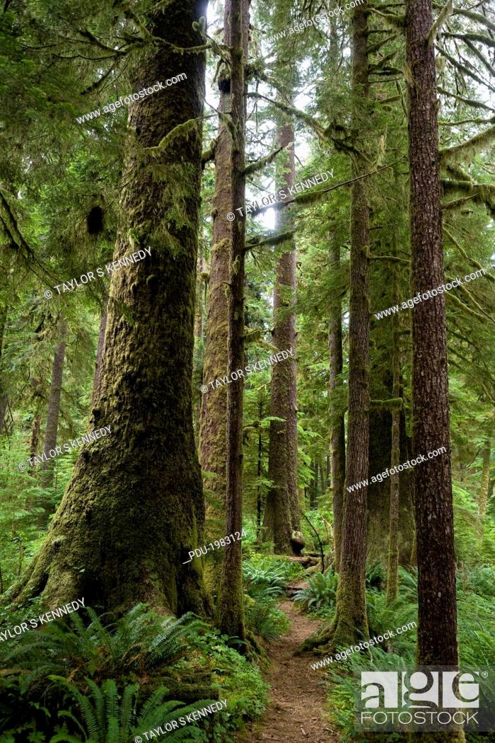 Stock Photo: A trail through the largest Sitka spruce groves left in the world.