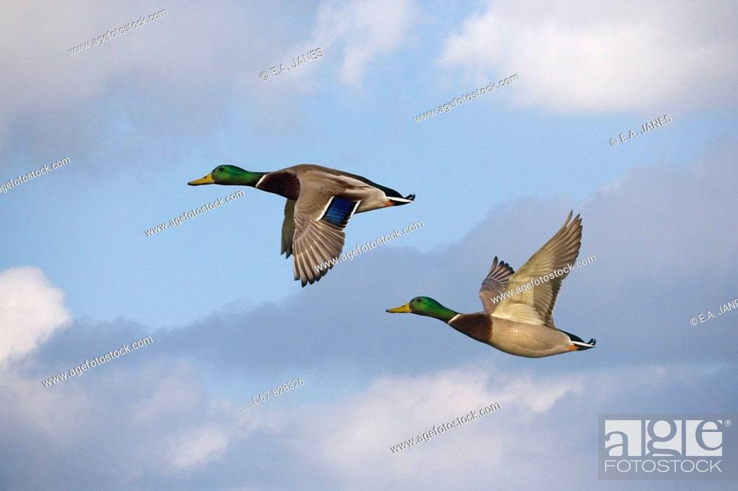 Stock Photo: Mallard Anas platyrhyncha Drakes in Flight.