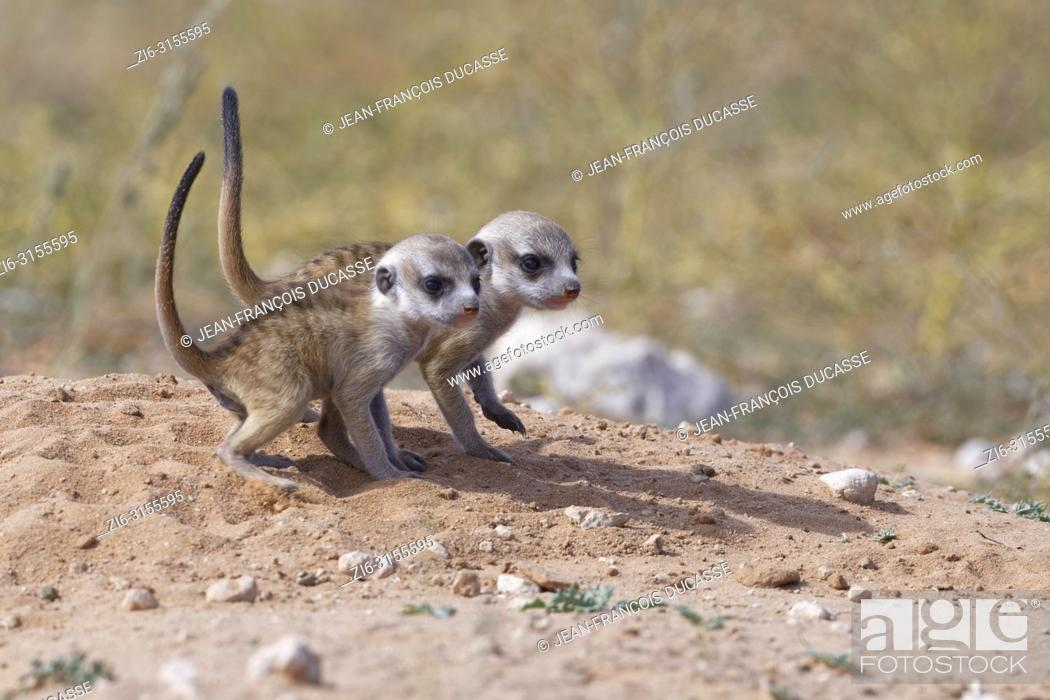 Stock Photo: Meerkats (Suricata suricatta), two young males at burrow observing the surroundings, tails in the air, Kgalagadi Transfrontier Park, Northern Cape, South Africa.