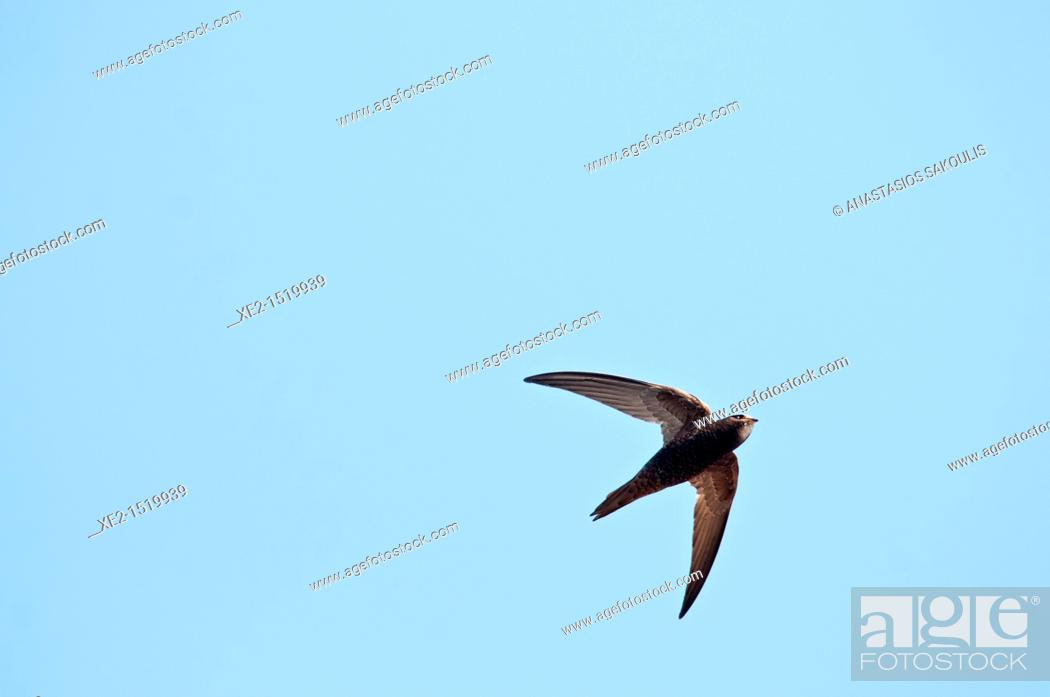 Stock Photo: Common Swift - Apus apus, Crete.