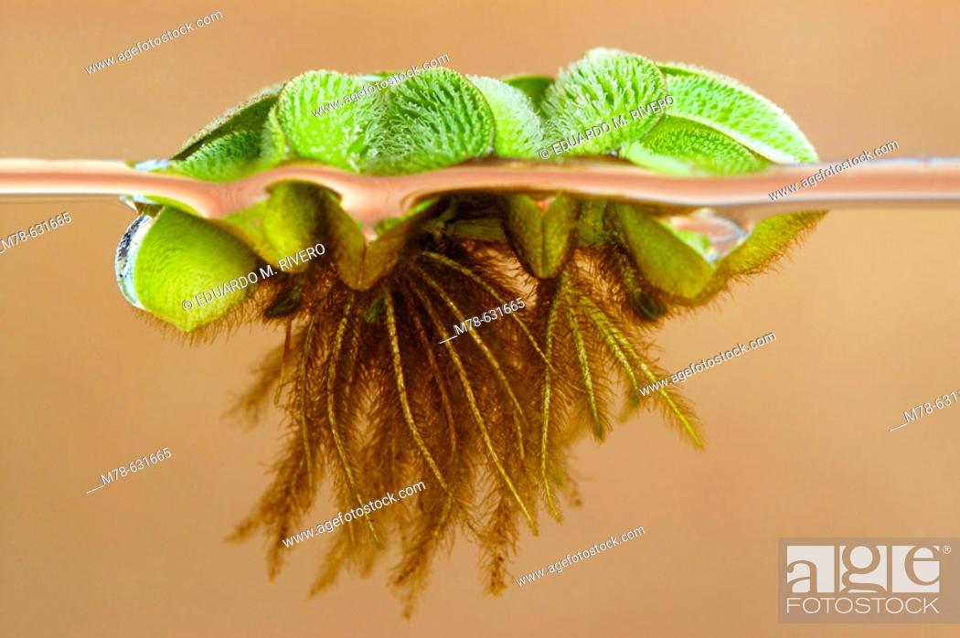 Stock Photo: Floating Moss (Salvinia rotundifolia).