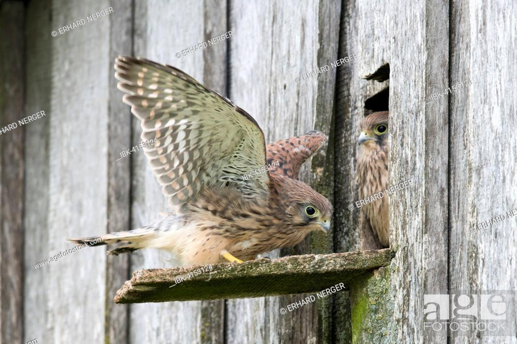 Stock Photo: Young Common Kestrels (Falco tinnunculus), Emsland, Lower Saxony, Germany.