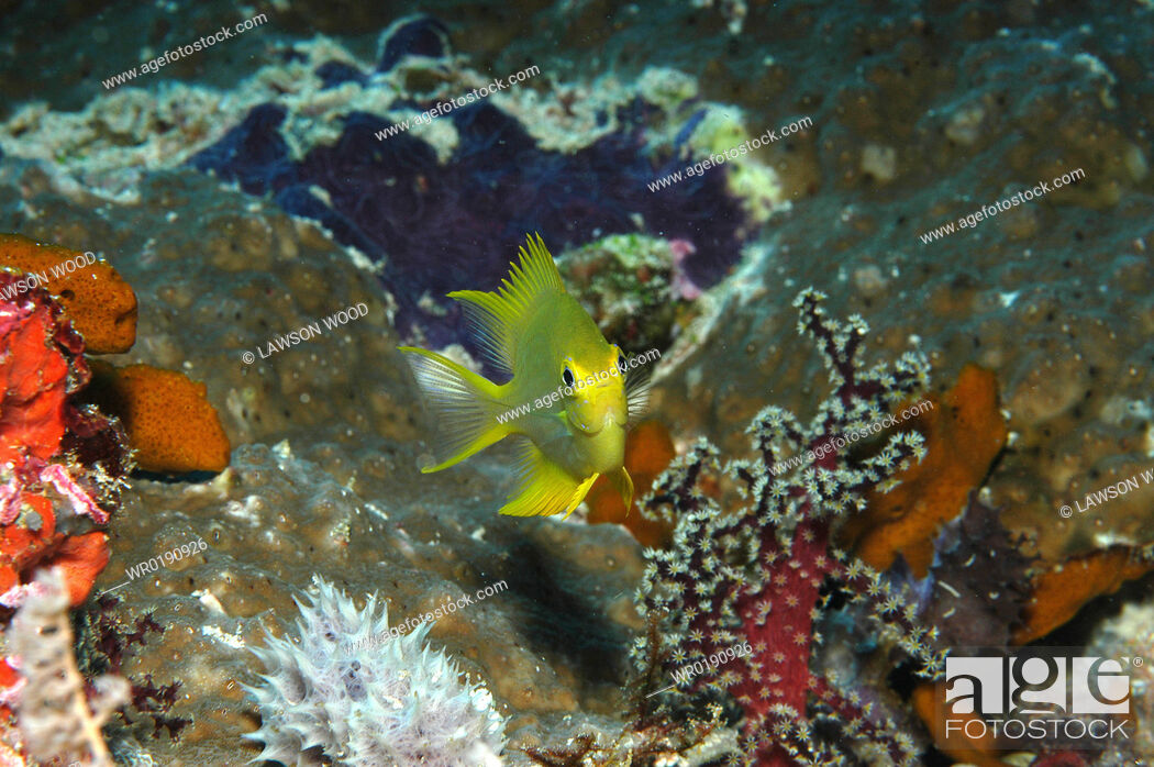 Imagen: Unidentified juvenile damselfish spp , portrait of brilliant yellow fish with very colourful background, Mabul, Borneo, Malaysia.