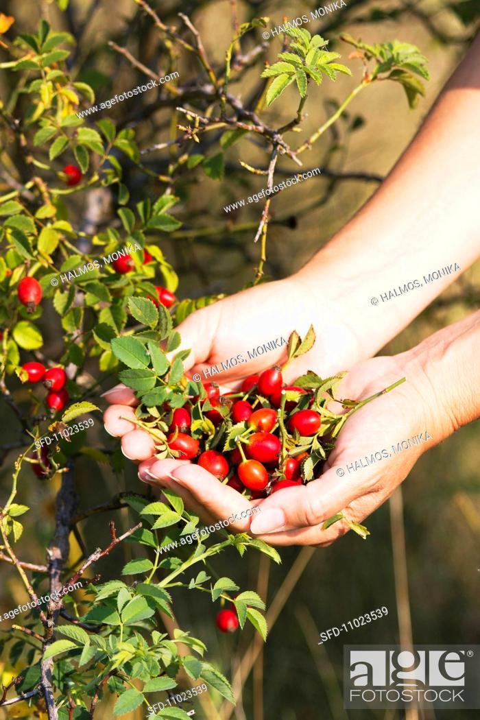 Stock Photo: Rosehips being picked.