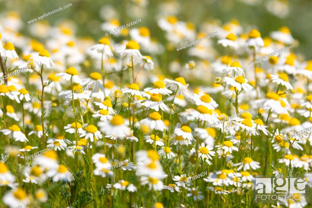 Stock Photo: thickets of chamomile on a meadow.