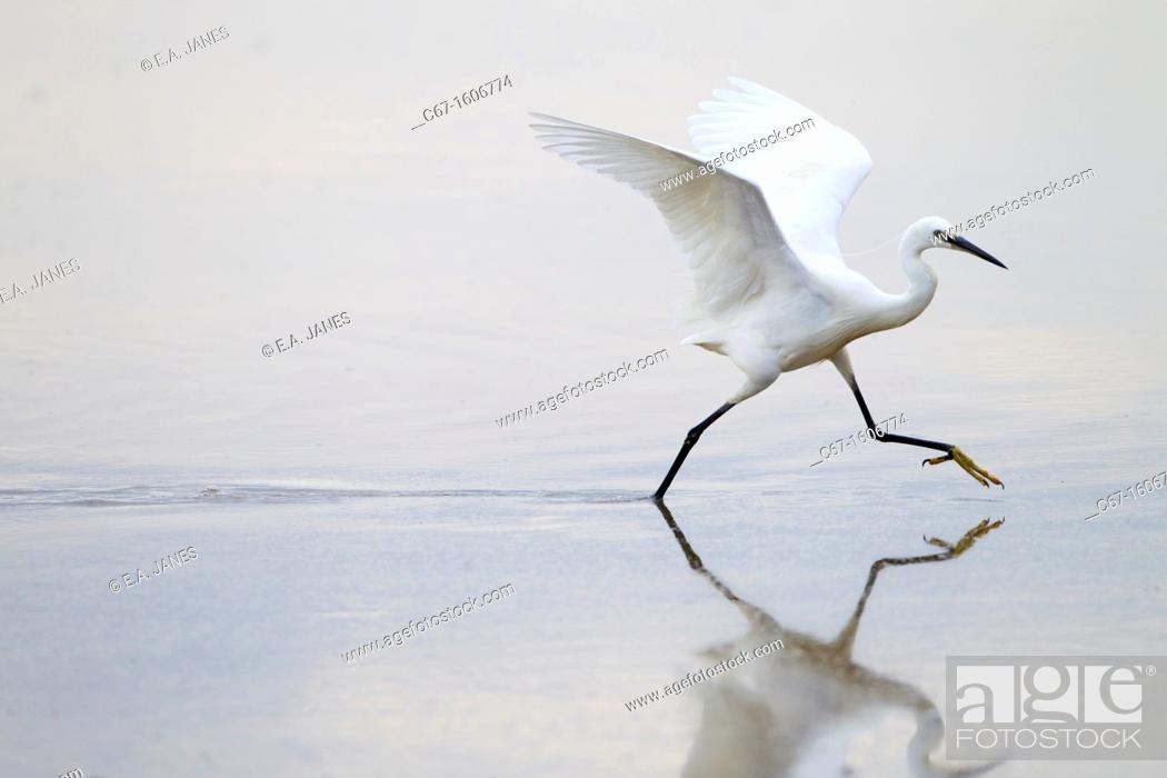 Stock Photo: Little Egret Egretta garzetta chasing fish.