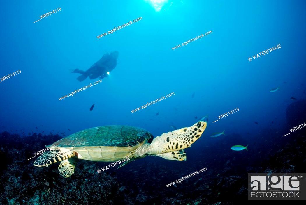 Imagen: Hawksbill Turtle and Diver, Eretmochelys imbricata, Indian Ocean, Maldives Island.