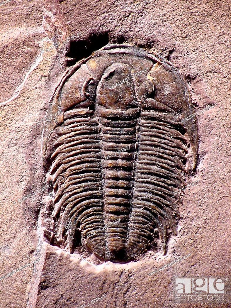 Stock Photo: Marjumia is a Cambrian Period trilobite of Utah.