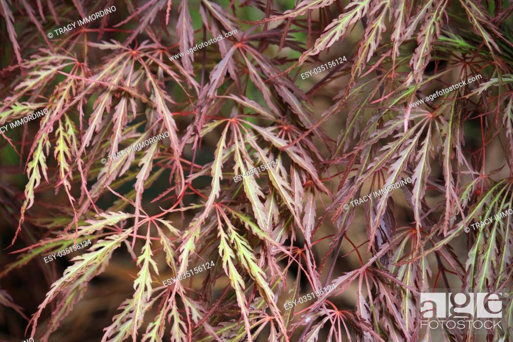 Photo de stock: Close up of the red and green leaves of a Queen Crimson Japanese Maple tree.