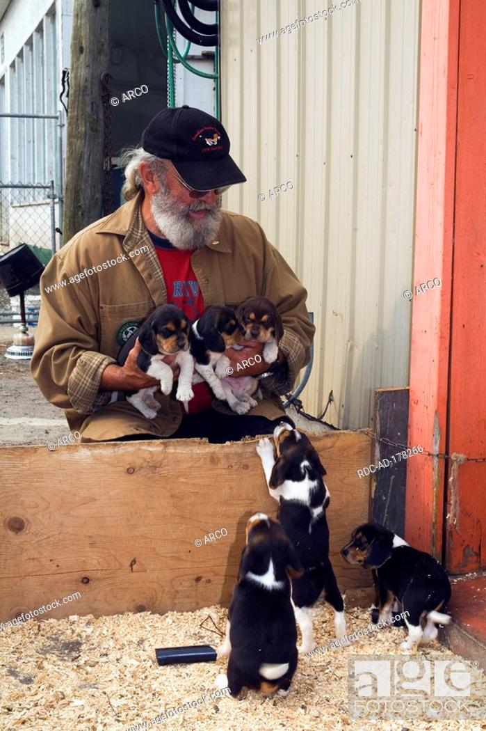 Breeder With Beagles Puppies Marcel Collard Farm St