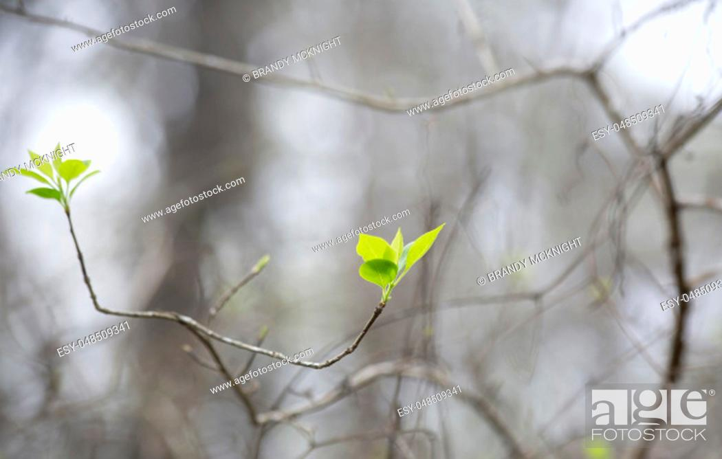 Photo de stock: Close up of green leaves beginning to grow in the early spring.