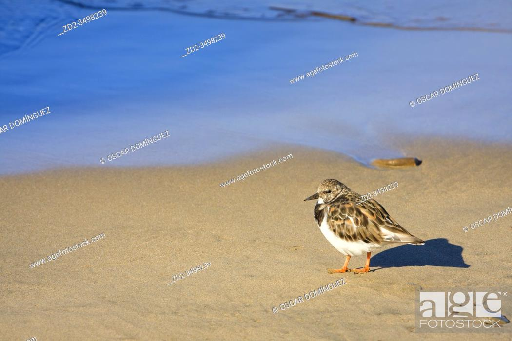 Imagen: Ruddy Turnstone (Arenaria interpres) perched on the beach. Bay of Txingudi. Basque Country. Spain.