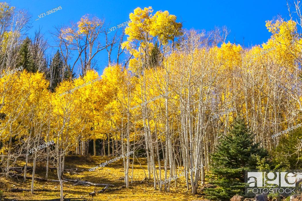 Imagen: A grove golden aspen color a mountainside close to Torrey, Utah.