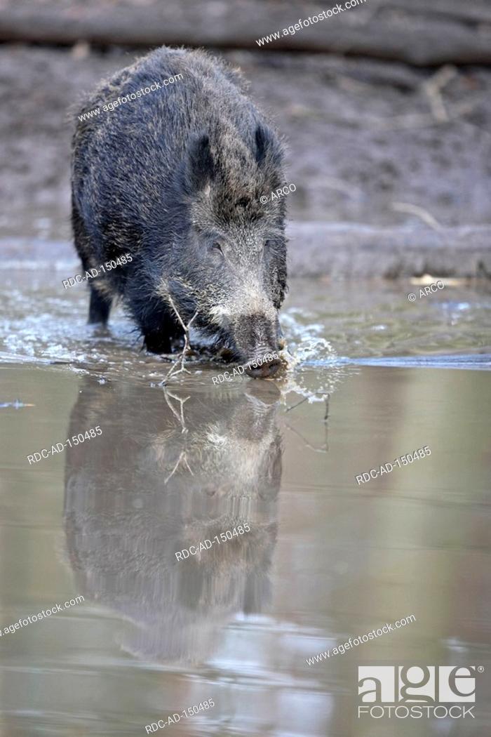 Stock Photo: Wild Boar Sus scrofa.