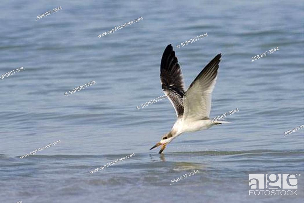 Stock Photo: Black skimmer Rynchops Niger flying above water.