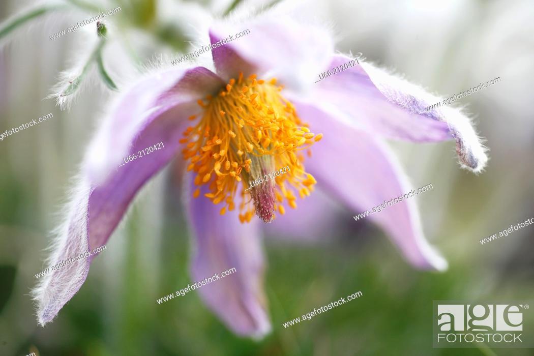 Stock Photo: Pasque flower, Stenshuvud National Park, Skåne, Sweden.