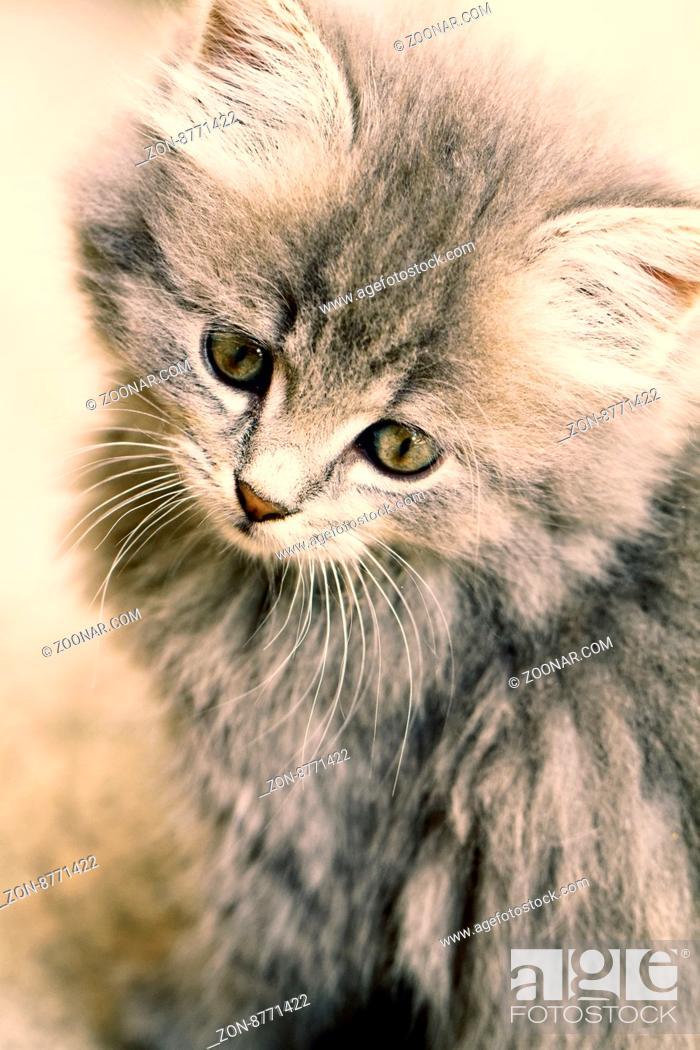 Stock Photo: A beautiful grey kitten - Close up photo.