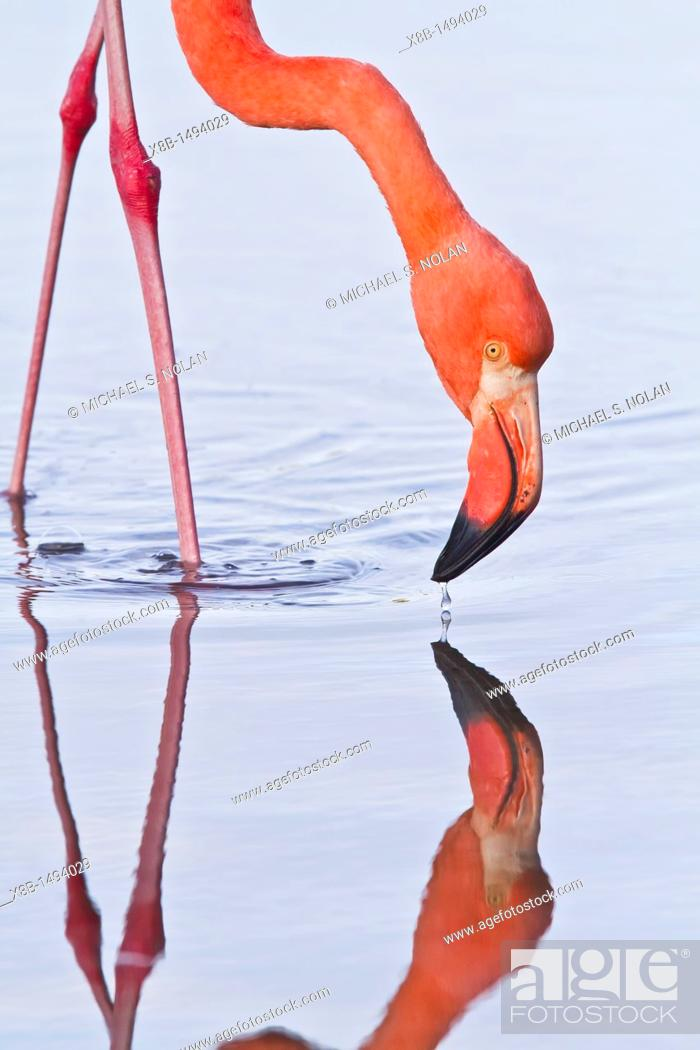 Stock Photo: Greater flamingo Phoenicopterus ruber foraging for small pink shrimp Artemia salina in saltwater lagoon in the Galapagos Island Archipelago.