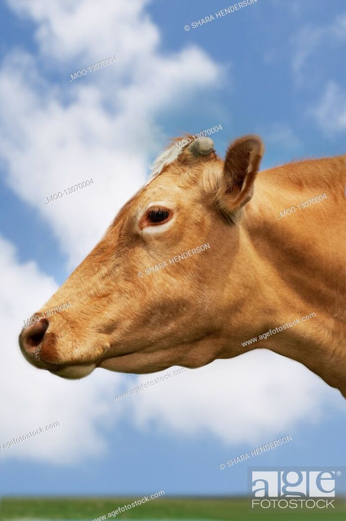 Stock Photo: Brown cow in field side view close-up of head.