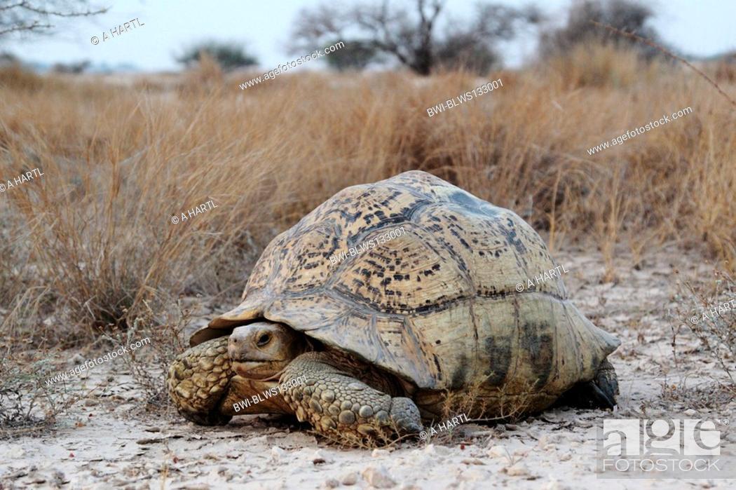 Stock Photo: leopard tortoise Geochelone pardalis, big individual in its biotop.