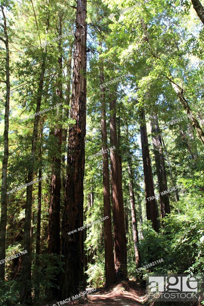 Imagen: Walking along the Redwood Trail amongst Redwood trees at Big Basin Redwoods State Park in Boulder Creek, California, USA.