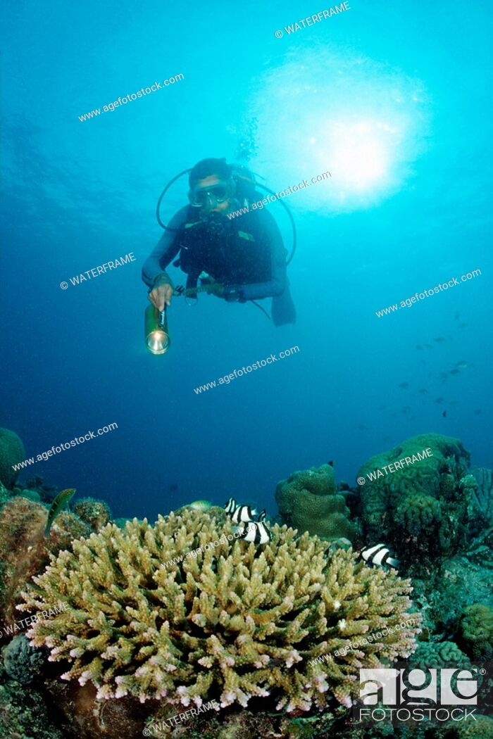 Imagen: Diver and Table Coral with Coral Fishes, Dascyllus aruanus, Indian Ocean, Maldives.