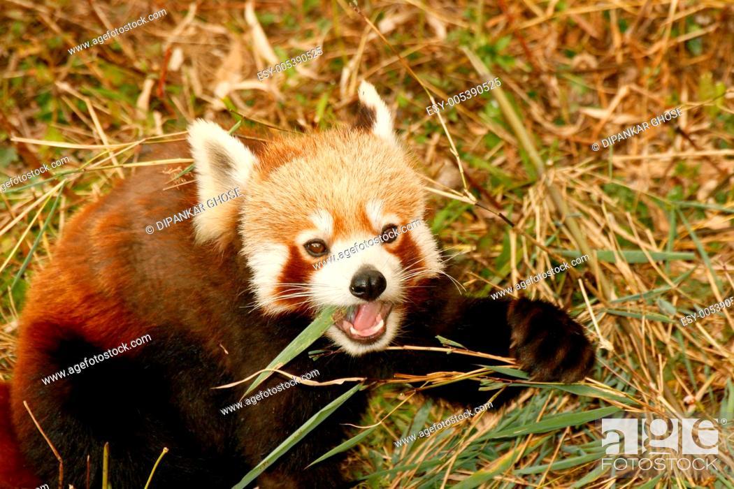 Stock Photo: Red panda ailurus fulgens at himalayan zoological park ; Bulbulay near Gangtok ; Sikkim ; India.