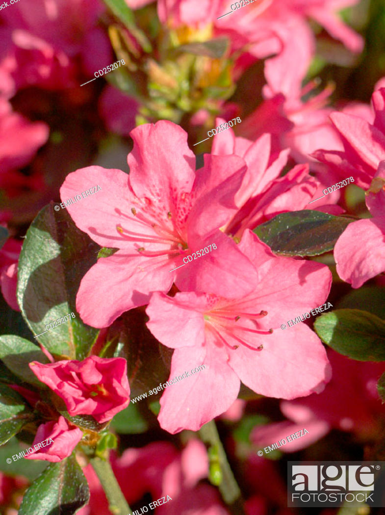 Stock Photo: Rhododendron (Rhododendron sp.).