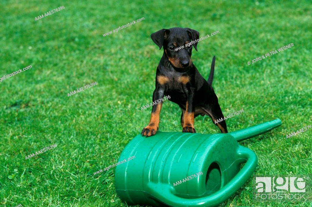 Stock Photo: Dog: Manchester Terrier Puppy, 6 weeks old, and Watering Can.