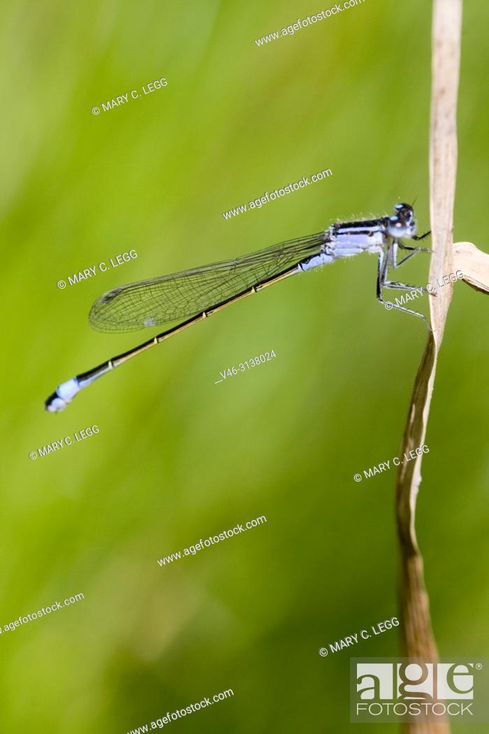 Stock Photo: Bluetail Damselfly, Ischnura elegans, blue-tail damselfly belonging to Coenagrionidae. Ischnura elegans has three common color variants, blue, violet and red.
