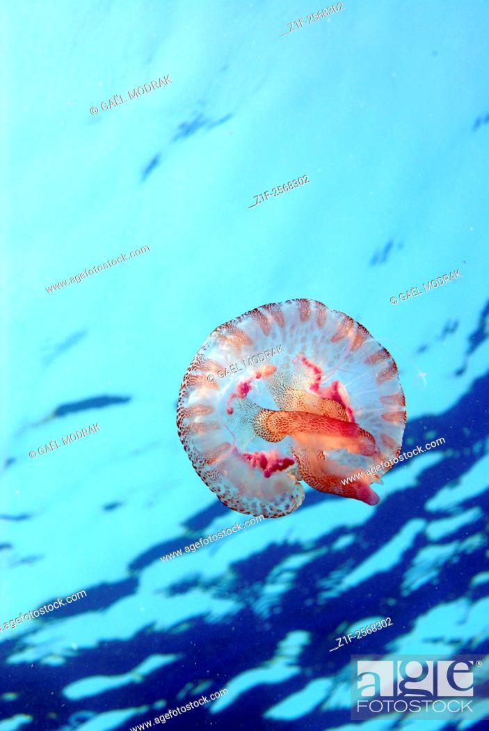 Stock Photo: Small pink stinging jellyfish in Mediterranean sea. Pelagia noctiluca.