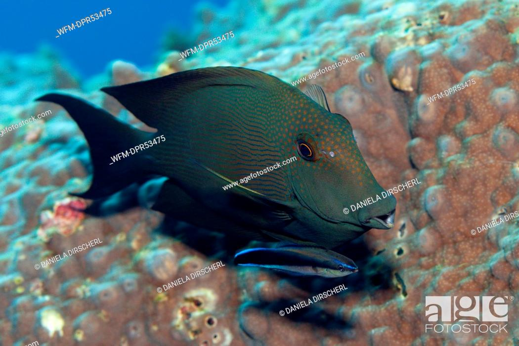 Stock Photo: Striped Bristletooth cleaned by Cleaner Wrasse, Ctenochaetus striatus, Labroides dimidiatus, Russell Islands, Solomon Islands.