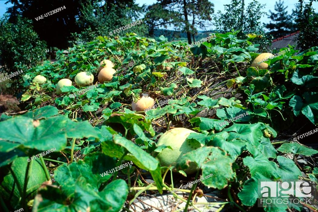 Stock Photo: tree, landscape, pumpkin, rural area, scenery, leaf, nature.