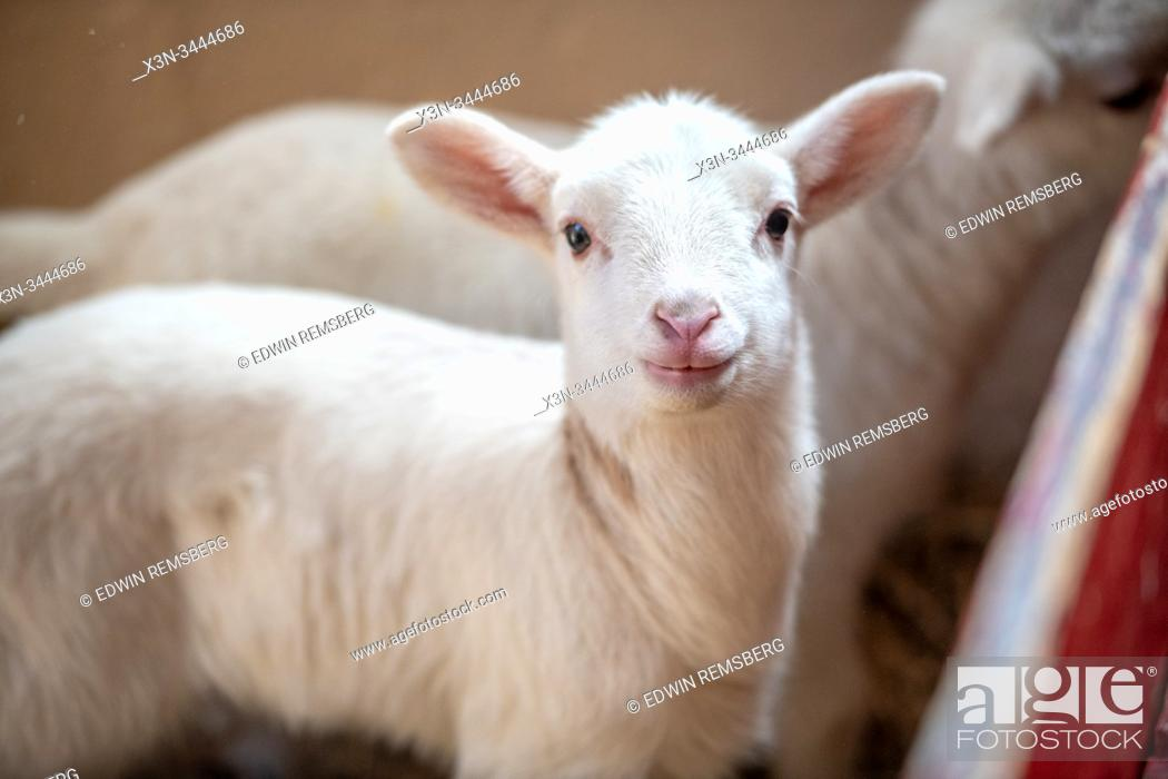 Stock Photo: Lamb stares intently into the camera as its picture is taken, Sheep Barn, UMD Campus, Maryland.